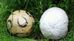 담양서 괴물버섯 '댕구알버섯' 발견