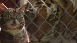 고양이가 호랑이 보호 캠페인을