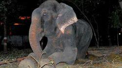 50년 동안 학대당한 코끼리의