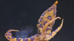제주 해안에 맹독성 파란고리문어