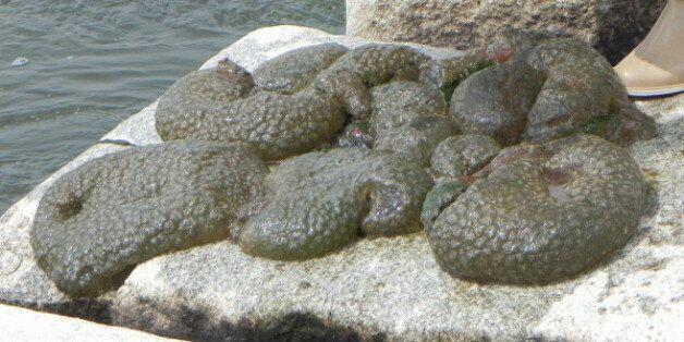 영산강 광주구간에 대량 번식중인 외래종