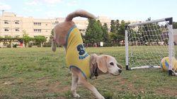 축구 천재 비글 강아지를 월드컵으로!