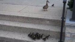 모든 엄마는 위대하다. 오리 엄마도