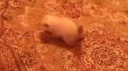 움직이는 카펫트에 놀란 새끼 고양이의