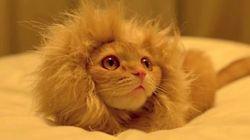 사자고양이의 탄생?