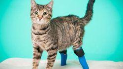 두 다리를 잃은 고양이가 의족으로 계단을 내려가는