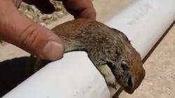 죽어가던 다람쥐를 심폐소생술로 살린