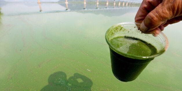 4대강 녹조 현상이 3년째 이어지고 있다. 대구환경운동연합은 낙동강 중류에서 지난 29일 녹조 현상이 처음 목격됐다고 30일 발표했다. 사진은 지난 2013년 8월 낙동강에서 발생한