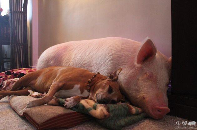 240kg의 돼지를 반려동물로 키우기