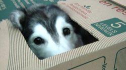 허스키가 고양이와 함께 자라면 어떻게