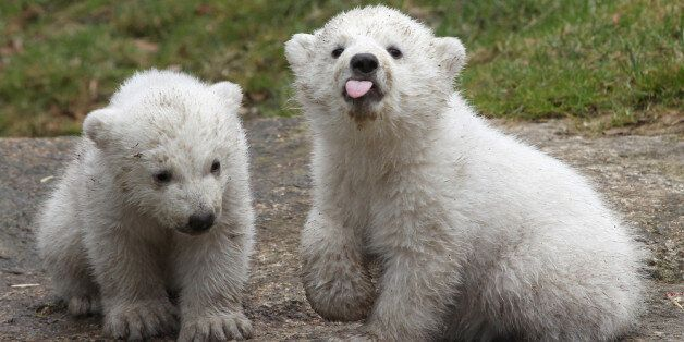 MUNICH, GERMANY - MARCH 19: 14 week-old twin polar bear cubs play during their first presentation to...