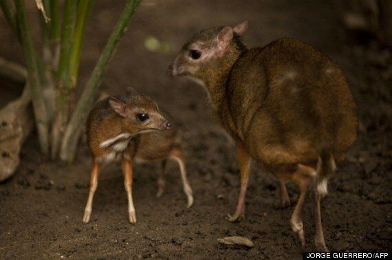 자바애기사슴 : 세상에서 가장 작은 사슴이 태어났다 (사진,