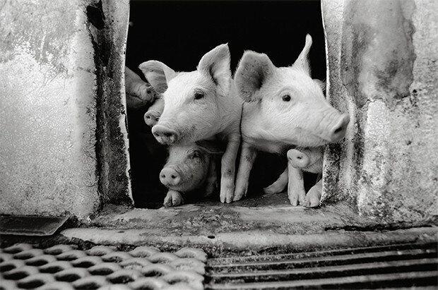1,200 마리 돼지와 아빠의 감동적인