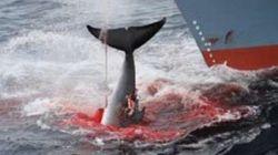 일본, 그래도 고래는 계속