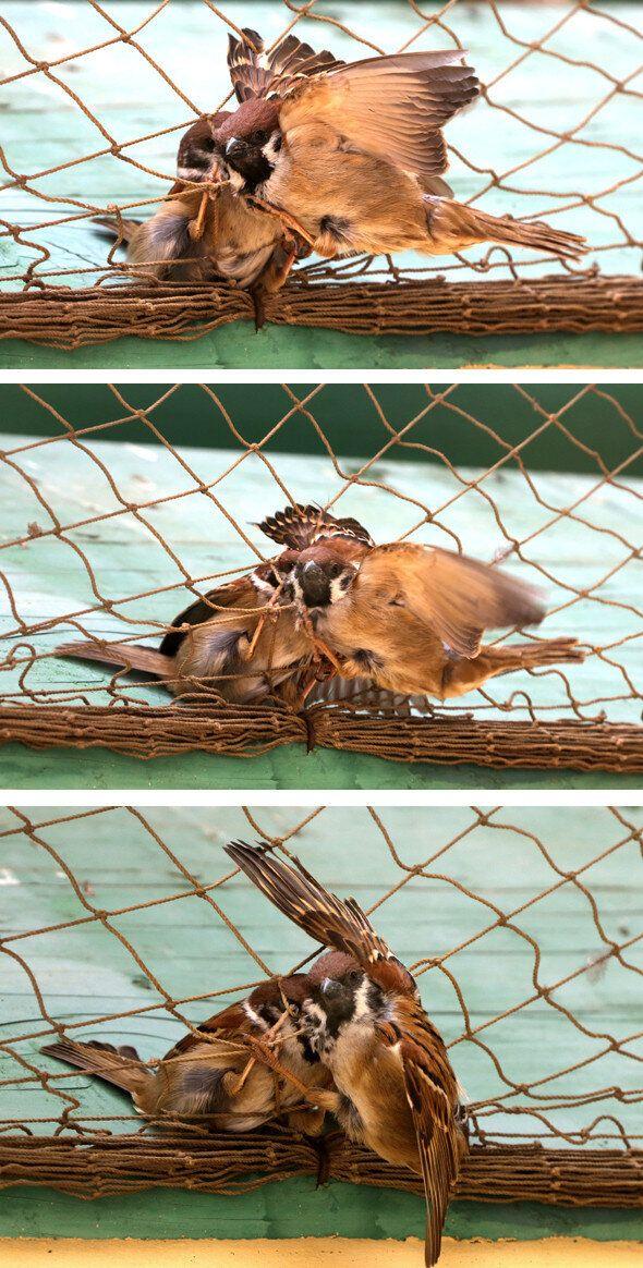 친구 탈출시키는 참새 : 참새들은 기어이 그물을 풀었다