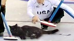 고양이 컬링이 올림픽 종목?