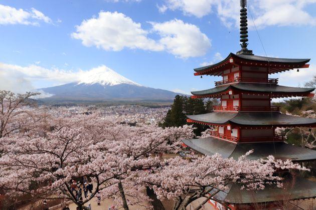 富士吉田市の新倉山浅間公園で桜が見頃を迎えた。展望台からは満開の桜、富士山、五重塔(忠霊塔)を一望できる(山梨県富士吉田市)