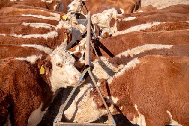 Hereford Grass fed beef cattle heifers in drought in rural NSW Australia feeding form feeding
