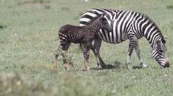 Questa zebra a pois sta preoccupando gli studiosi