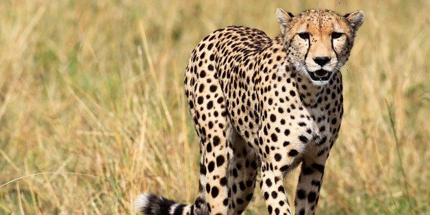 A cheetah and her cub walk on the plains in Masai Mara game reserve, Southwest of Kenya's capital Nairobi,...