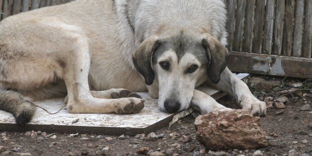 ATHENS, GREECE - NOVEMBER 18: A dog is seen after torrential rains struck the west Athenian suburb of...