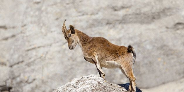 Spanish Ibex (Capra pyrenaica) stood upright with head bowed, on a rock, against a blurred natural background,...