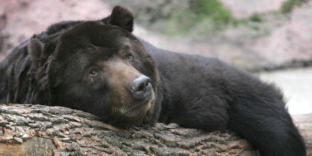 Moscow, RUSSIAN FEDERATION: This Kamchatka 25-year-old, brown bear called Mushir, rests on a trunk since...