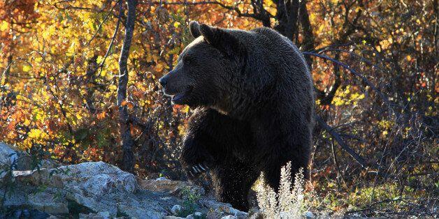 A bear prepares for hibernation at the Four Paws Bear Sanctuary in Pristina, November 10, 2017. REUTERS/Hazir