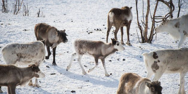 Reindeer are pictured in Kautokeino, a town in Finnmark county, located in the northeastern part of Norway,...