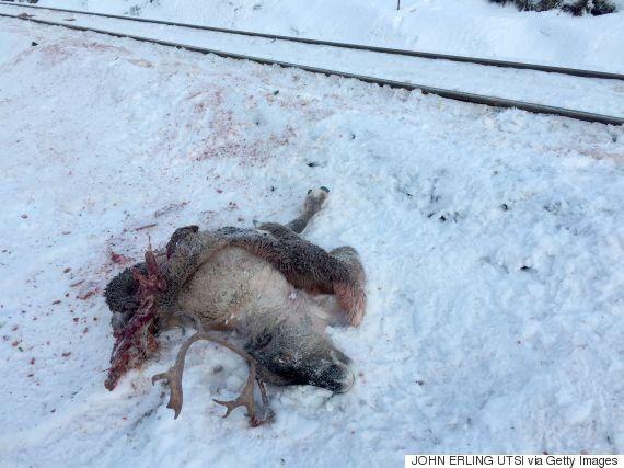 Πάνω από 100 τάρανδοι σκοτώθηκαν από τρένα στη Νορβηγία τις τελευταίες