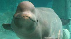 Μια φάλαινα έμαθε να «μιλάει» σαν δελφίνι για να κάνει νέους