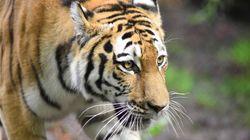 Τίγρης επιτέθηκε σε υπάλληλο ζωολογικού κήπου στη Ρωσία. Επισκέπτες την έσωσαν από βέβαιο