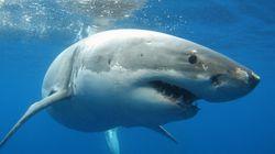 Βίντεο: Επίθεση καρχαριών σε υποβρύχιο του ντοκιμαντέρ Blue Planet