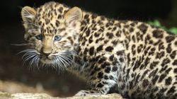 Η μεγάλη οικογένεια μιας μικρής λεοπάρδαλης: Πώς μεγαλώνει με δύο σκυλιά, μια λέαινα και μια