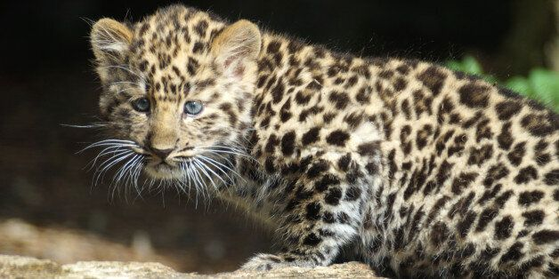 WINCHESTER, UNITED KINGDOM - SEPTEMBER 01: Amur leopard cubs pictured enjoying their day at Marwell Zoo...