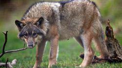 Γιατί η μυρωδιά του αίματος προσελκύει τους λύκους αλλά απωθεί τους