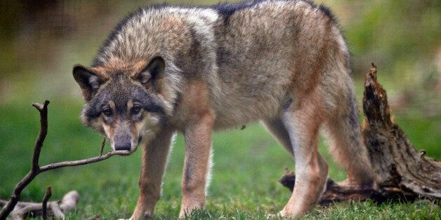 A captive wolf is seen in the Alpha wolf wildlife park in Saint Martin Vesubie, October 17, 2006. Carter...