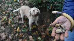 Βρέθηκε στην Καλαμπάκα μία από τις μεγαλύτερες τρούφες που έχουν βρεθεί ποτέ, βάρους 510