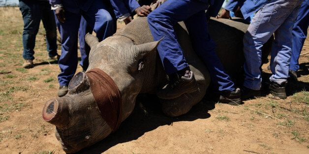 UNSPECIFIED, SOUTH AFRICA - OCTOBER 16: A sedated and blindfolded black rhino is held in place after...