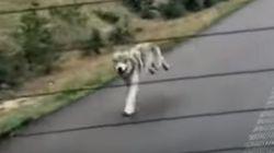 Λύκος τρέχει πίσω από αμάξι στον