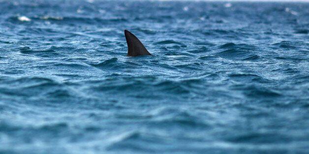 dorsal fin of shark in