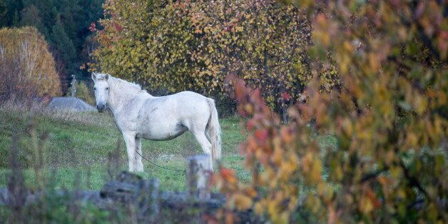 OMSK REGION, RUSSIA - SEPTEMBER 22, 2017: A horse in the village of Unara, Sedelnikovo District. Dmitry...