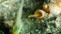 Στο σαλιγκάρι με το ισχυρότερο δηλητήριο ίσως κρύβεται το μυστικό για την καταπολέμηση του