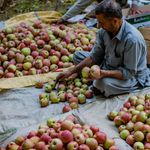 Kashmir: Angry Farmers Won't Sell Apples To NAFED, Addled Govt Takes Mandi