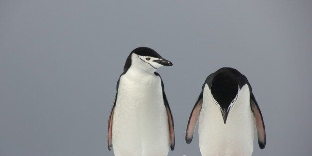 *** EXCLUSIVE ***ANTARCTICA - DECEMBER 13, 2011: Two penguins look troubled in Peter Odeh's 'Trouble...