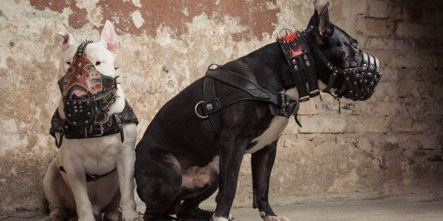 Two thoroughbred dogs: black american pit bull and white bull terier in muzzles seatting over scraped...