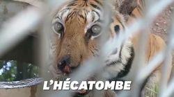 En Thaïlande, 86 tigres rescapés du