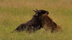 Βίντεο: Θανάσιμη μάχη μέχρι τελικής πτώσης- λιοντάρι εναντίον