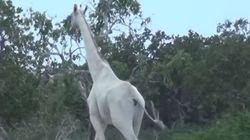 Σπάνιες λευκές καμηλοπαρδάλεις εντοπίστηκαν στην