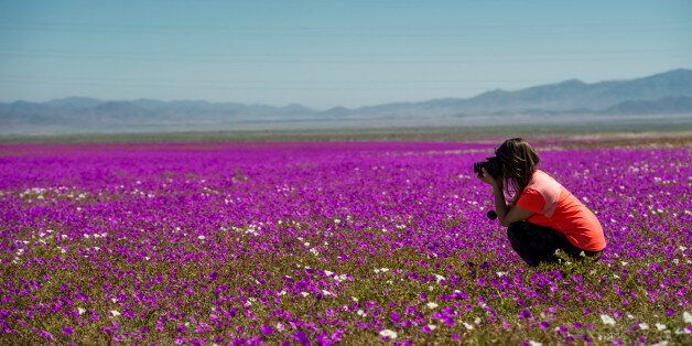 A visitor takes snapshots of the bloom on the Atacama desert, at the Huasco region some 600 km north of Santiago, on August 26, 2017.In years of very heavy seasonal rains a natural phenomenon known as the Desert in Bloom occurs, making the seeds of some 200 desert plants to germinate suddenly some two months after the precipitations. / AFP PHOTO / Martin BERNETTI        (Photo credit should read MARTIN BERNETTI/AFP/Getty Images)